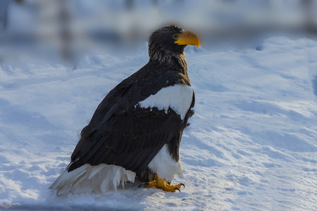 A large eagle with black and white plumage sits on the snow. Predatory yellow beak and paws. Daylight.