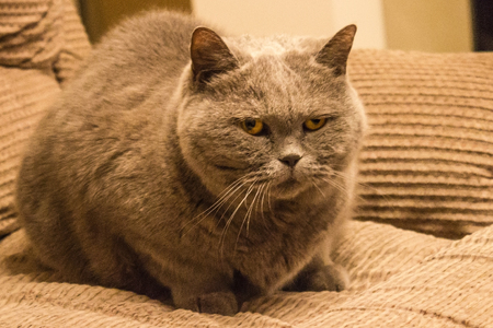 A large, fluffy cat of gray color. Round yellow eyes, angry look. Suspicion, aggression, discontent. Home furnishings, top lighting. Stock Photo