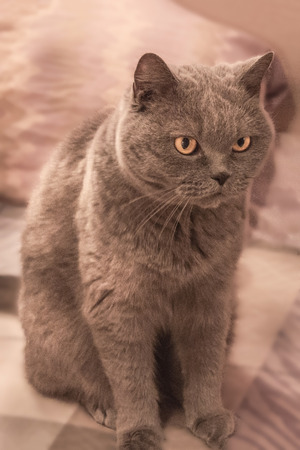 A domestic pet, a sleek cat. British shorthair breed, gray wool, yellow eyes. Hostile, attentive look to the side. Artificial lighting.
