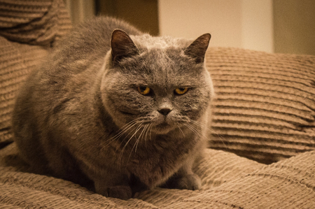 A fat, large cat in a guarded pose. In the eyes of hostility, anger, suspicion. British Shorthair breed. Home furnishings. Stock Photo