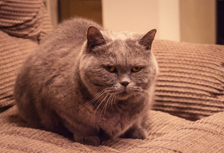British short-haired cat, gray color, yellow eyes. A strained pose, a suspicious look. Fluffy, well-groomed coat. Home furnishings, artificial lighting. Stock Photo