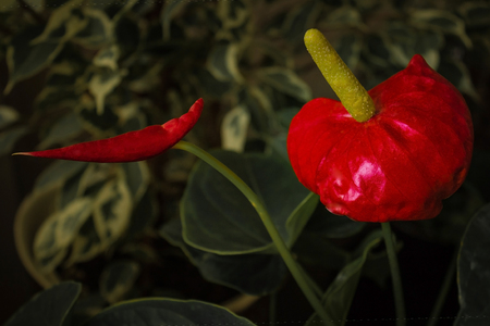 Decorative flower, houseplant with a large red bud. In the center is an indecent, fat pestle, a symbol of the phallus. Erection, potency, male power.