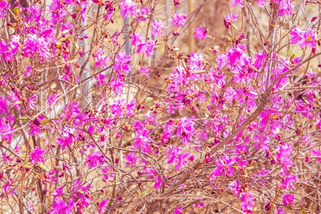 Delicate pink flowers, flowering, beautiful bush. The background is blurred. Early spring. Clear sunny day, warm toning.