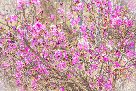 Delicate lilac, pink flowers on thin branches. Spring, the time of flowering, nature comes alive, a revival to life. Vignetting, the background is blurred.