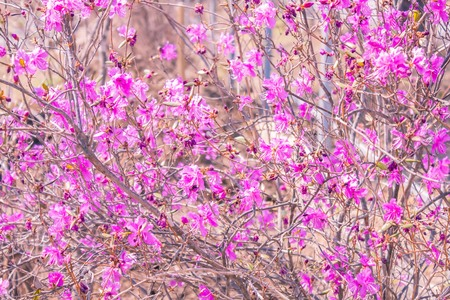 Shrub with small lilac, pink flowers. A gentle background, the time of flowering, early spring. The background is blurred.