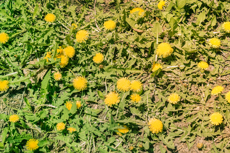Green grass and bright, yellow dandelions. Spring, summer days, warm, sunny. Joyful, elated mood. View from above.