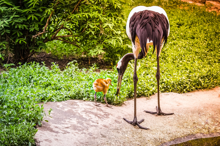 Crane feeds its young fish. An adult bird holds a meal in the beak for a chick. Care, tenderness, motherly love. Around the green grass. Solar lighting, toning.
