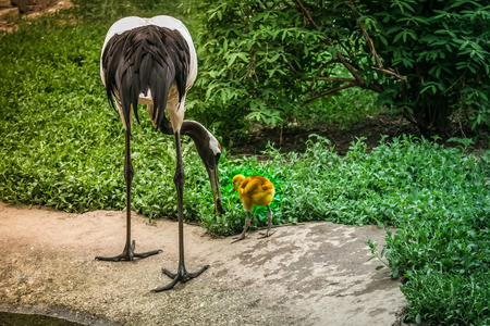 The Japanese crane feeds from the beak of its yellow chick. Touching care, motherhood, paternity. Summer day, green background, sunlight. Stok Fotoğraf