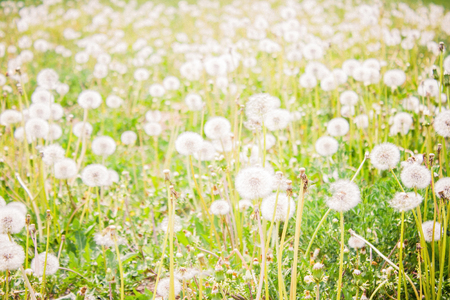 Green field, meadow, many fluffy dandelions. Summer, a bright sunny day. Daylight, warm toning. The background is blurred.