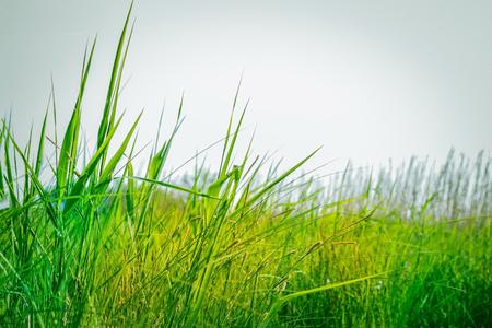 Green grass, field, meadow. Summer, July, high season. Daylight, copy space, vignetting.