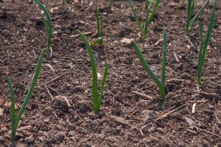 Spring work in the garden, the first shoots. Long sprouts of green onions on brown earth. The edges are blurred. Stock Photo
