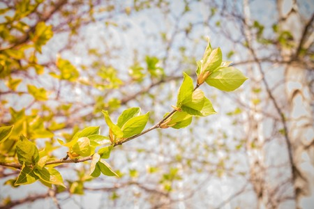 Spring background, the first green leaves against the blue sky. Birch grove, forest. Warming, nature comes to life. Solar lighting. Stock Photo