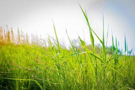 The height of summer, a hot season, nature. Green blade of grass against the sky. Daylight, measles, space.
