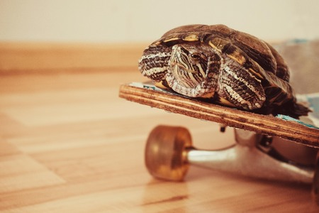 Turtle on a skateboard, comfortable movement, increase in speed. Warm toning, the background is blurred.