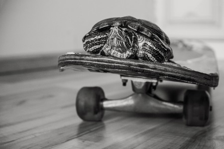 Turtle, passenger, on a skateboard. Transportation, fast movement, time saving. In black and white. The background is blurred.