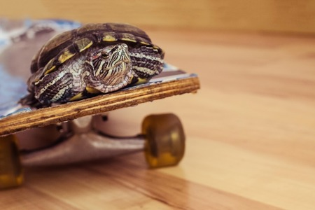 Turtle rides on a skateboard. Increase the speed of movement. The background is blurred. Imagens