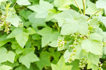 Green foliage, currant bush in the garden. Beginning of summer, sunny day. The far plan is blurred.