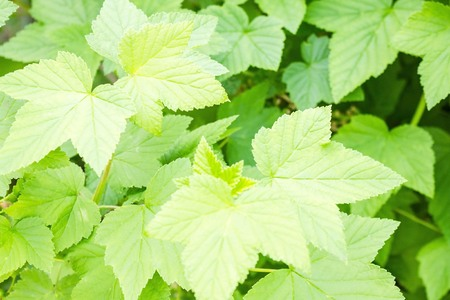 Garden, bright sunny day, summer. Currant bush, young foliage. Berry Shrub. The background is blurred.