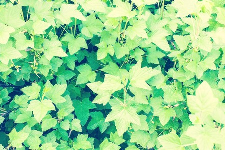 Berry shrub, currant, green leaves. Sunny day, June, early summer. Toning, daylight. Imagens