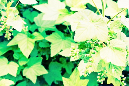 In the garden currant bushes with unripe berries. Source of vitamins. June, early summer, young foliage. Toning.