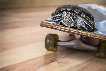 The turtle moves on a skateboard, on wheels. Passenger transportation. Copy space, the background is blurred. Imagens