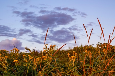 Summer evening, the sun sets, yellow lighting. Grass, ears of corn, wild flowers against the blue sky. Copy space. Imagens