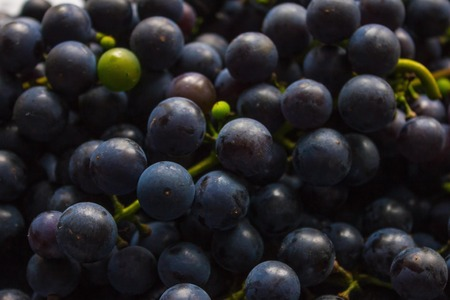 Dark blue grapes close-up, the background is blurred. Dense bunches, good harvest. Viticulture, home winemaking.