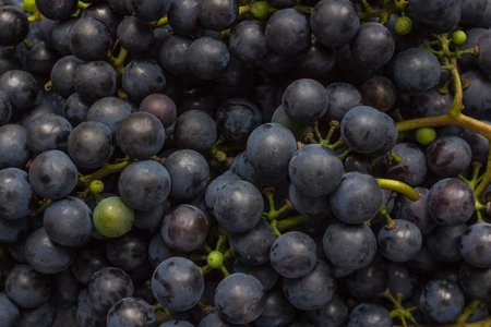 Raw materials for the production of house wine, dark blue grapes. Round berries on a branch, dense bunch. Smooth layer, top view, daylight. Imagens