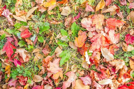 Red and yellow leaves of maple on the grass. Early autumn, September. View from above. Imagens