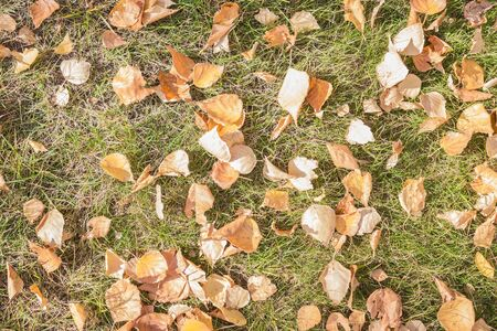 Early autumn, September, leaves fly around. Dry yellow leaves on green grass. Top view, side sunlight.