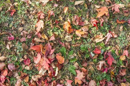 Maple leaves on faded grass. Red, yellow, burgundy and green. Early autumn. Lateral solar lighting. View from above.