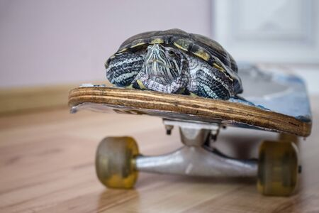 Green turtle on skateboard, home decor. Copy space, the background is blurred. 版權商用圖片