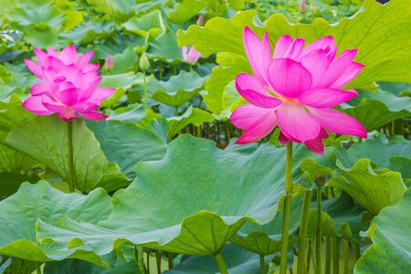 Lotus bloom, large pink buds on thick stems. The sacred flower in Asia, a symbol of Buddhism. The background is blurry. Фото со стока