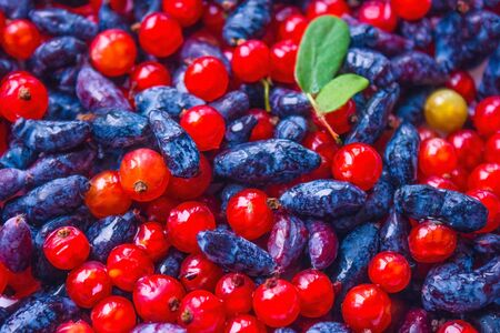 Red currants and blue honeysuckle. Fresh, shiny berries, bright background. The distant plan is blurred.
