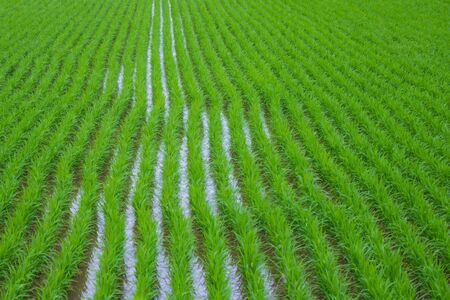 Long green rows, rice crops. Asia, agricultural country. Agriculture, work on the ground. The distant plan is blurred. Фото со стока