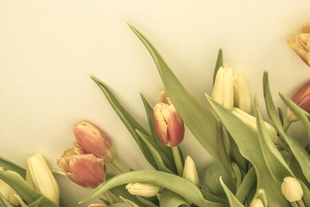 Delicate tulips, red and yellow flowers. Light background, copy space. Muted tones.