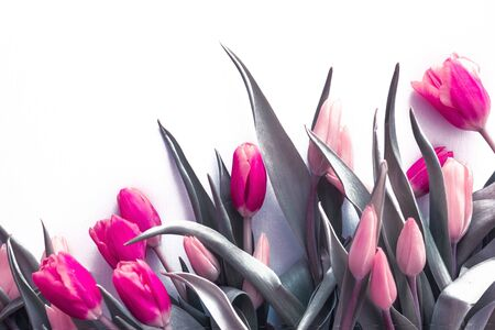 Pink tulips, fresh buds and leaves. Holiday, celebration, congratulation, gifts. Toning. Banque d'images
