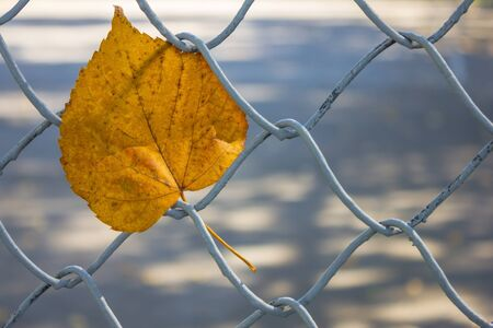 Close-up of a lonely yellow leaf stuck in the fence. Autumn in the city park. The background is blurred. Foto de archivo