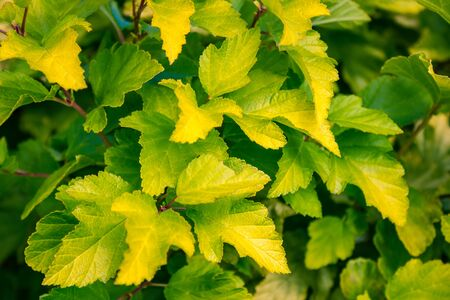 Leaves of a bush close up. Green and yellow tones. Autumn, city park. The background is blurred. Foto de archivo