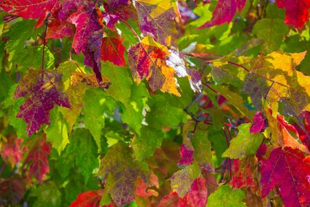 Colorful background of autumn maple leaves. Branch of a tree with multi-colored leaves. City park, sunny day. Foto de archivo