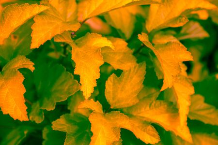 Figured leaves are illuminated by rays of sunset. The background is blurred. City park, autumn.