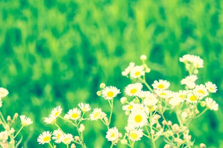 Green meadow, white wildflowers on a background of bright juicy grass. Summer, high season, rural field. The background is blurry. Solar lighting, tinting. Foto de archivo