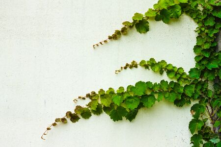 Green plant, ivy, on a white surface, wall. Copy space, daylight.