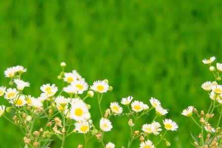 Small white flowers on a juicy green background. Summer, country meadow, expanse.