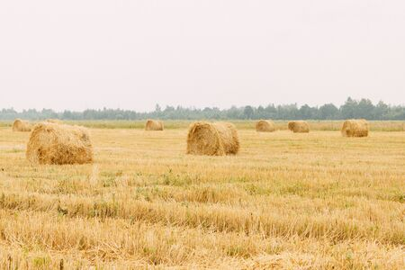 Mowed hay on the field, haymaking. Farm, agriculture, rural work. Country landscape. In the distance is a forest, trees. Reklamní fotografie