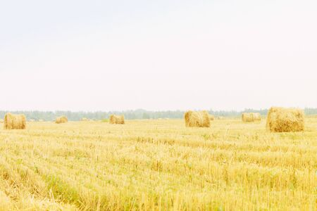 Yellow mowed field, haymaking. Agriculture, farming. Away the forest, the sky. Banque d'images