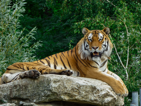 Tiger sitting on a rock in a zoo