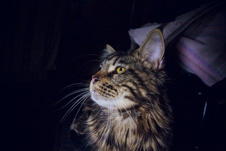 maine coon on a black background young