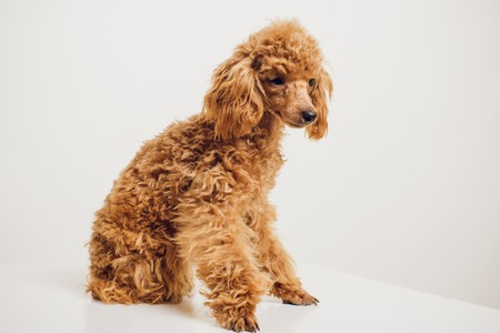 Adorable Mini Toy Poodle with Golden Brown Fur on a white background Stock Photo