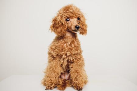 Adorable Mini Toy Poodle con piel marrón dorada sobre un fondo blanco